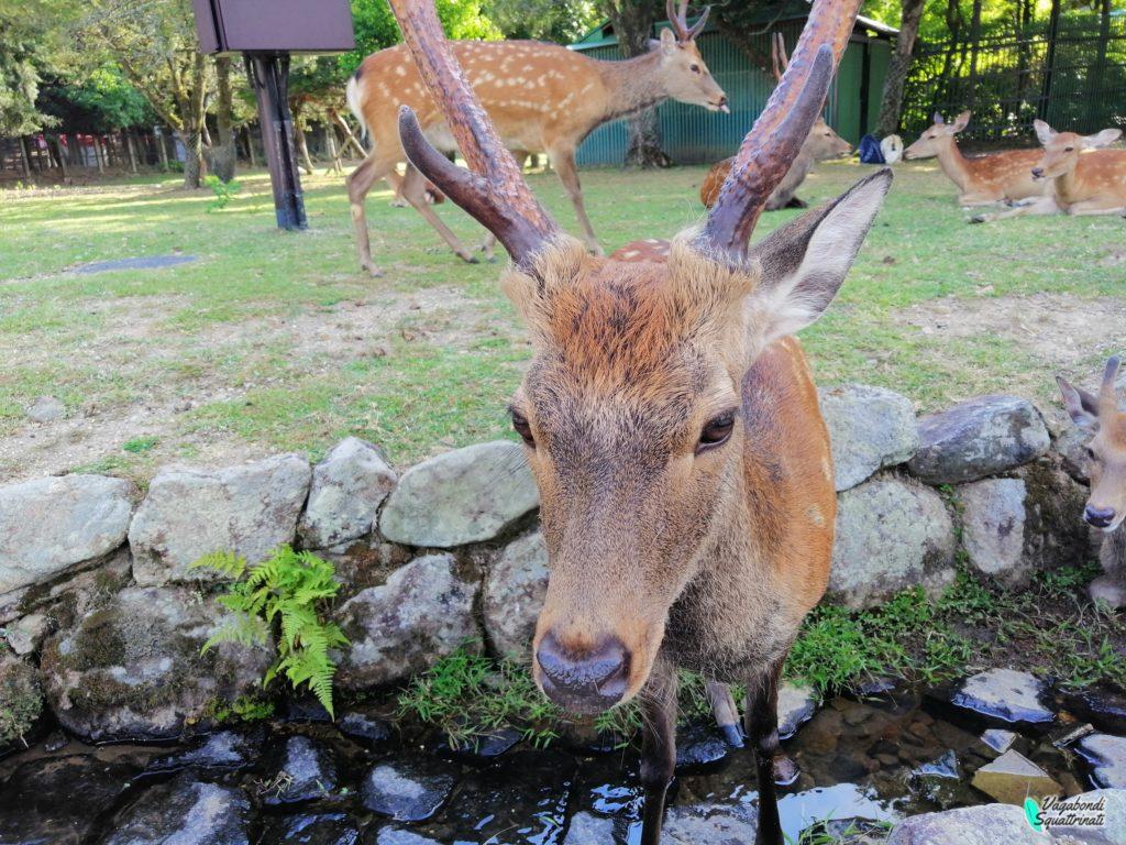 nara cervi nostro viaggio a kyoto
